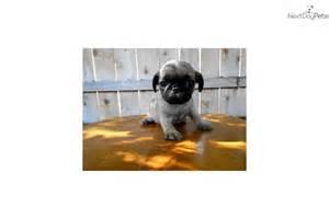 Mini Toy Pug Puppies