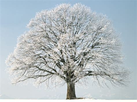 Free Winter Picture by Free Photo Winter Tree Snow Snowflake Sky Free