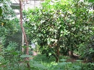 Bäume In Kübeln : das gew chshaus f r suptropische und tropische nutzpflanzen ~ Lizthompson.info Haus und Dekorationen
