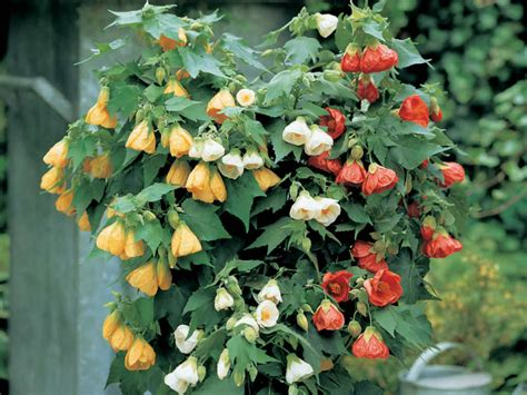 how to grow and care for abutilon world of flowering plants