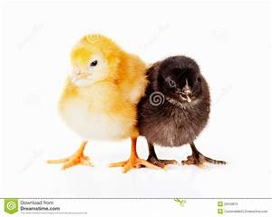 Black And Yellow Baby Chickens Stock Photo - Image: 29543810
