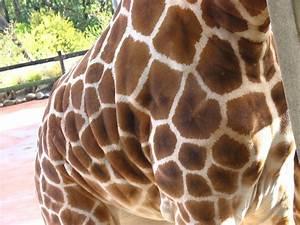 Fatty Giraffe