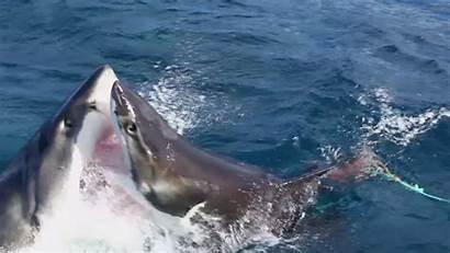 Shark Attack Attacks Sharks Another