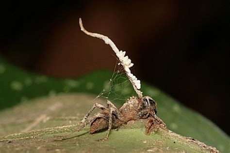 zombie fungus ant ants anti parasite csmonitor