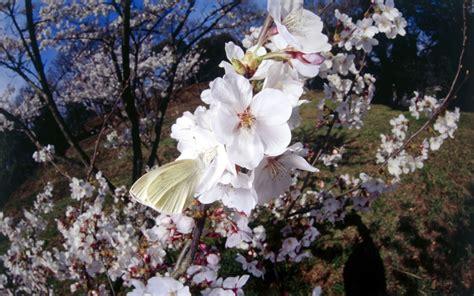 วอลเปเปอร์ : ดอกไม้, สาขา, ดอกซากุระ, เบ่งบาน, ฤดูใบไม้ผลิ ...