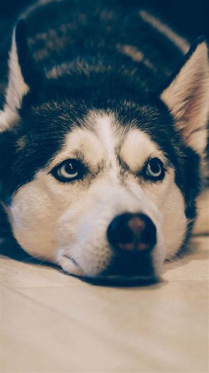 Iphone Siberian Husky Wallpapers Dogs Aesthetic