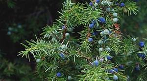 Ginepro dimenticata pianta natalizia dalle ottime proprietà salutari