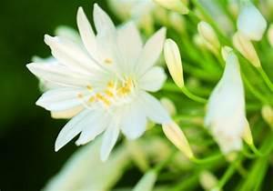 Entretien Des Agapanthes : agapanthes des belles tir es quatre pingles conseil jardin botanic botanic ~ Melissatoandfro.com Idées de Décoration