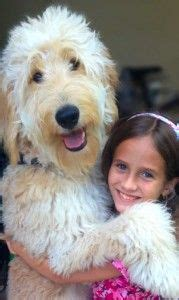 medium sized non shedding hypoallergenic dogs image gallery non shedding hypoallergenic dogs