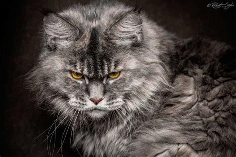 robert sijka captures stunning portraits  maine coon cats