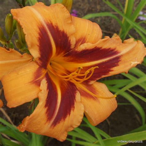daylily colors tech colors daylily phlox eu