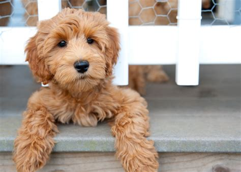 Non Shedding Small Dogs Australia by Waltzing Matilda S Labradoodles Australian Labradoodle