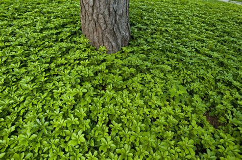 wary  choosing  ground cover plant  shady areas