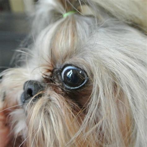 tear stains  shih tzu dogs