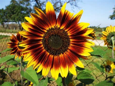 eine sonnenblume fuer gisela zum geburtstag nebra