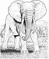 Elephant Coloring Pages African Animals Wildlife Realistic Drawing Elephants Hard Adults Safari Face sketch template