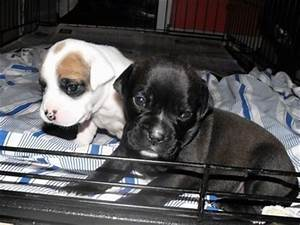 Bullador Dog Breed Information and Pictures