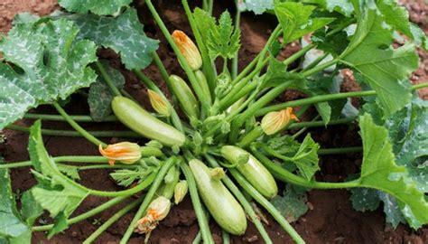 zucchini pflanzen pflege zucchini pflanzen wann wie und die richtige pflege