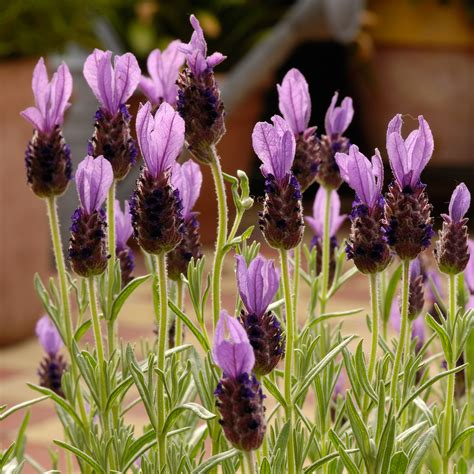 lavender maintenance related keywords suggestions for lavender anouk care