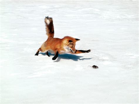 is it to own a fox in ohio گالری عکس های روباه سری 1