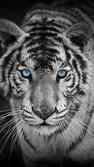 White Tiger HD Wallpaper ·① WallpaperTag