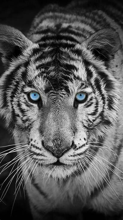 Tiger Mobile Wallpapertag