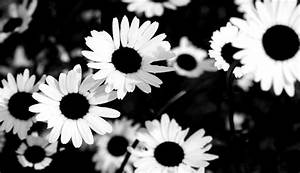 White Sunflower Tumblr Backgrounds | Wallpapers Gallery