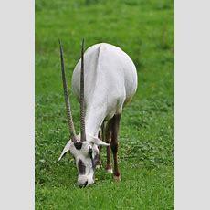 Best 25+ Arabian Oryx Ideas On Pinterest  Animals In Desert, Antelope Horns And Antelope Animal