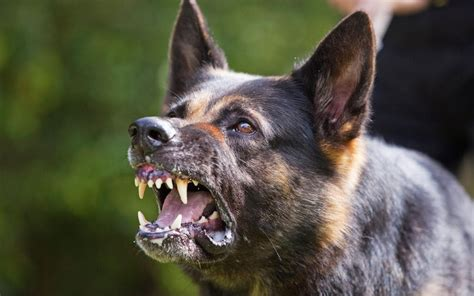 pet subjects    dog  snarling   dogs