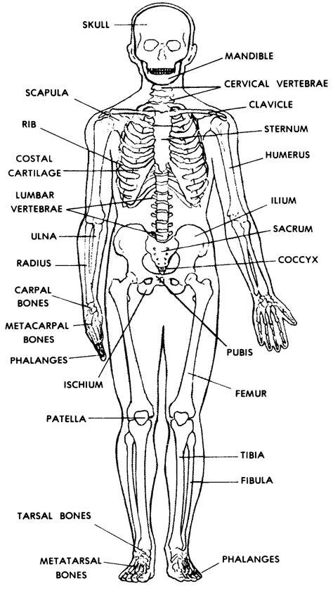 images  skeletal system basic human anatomy