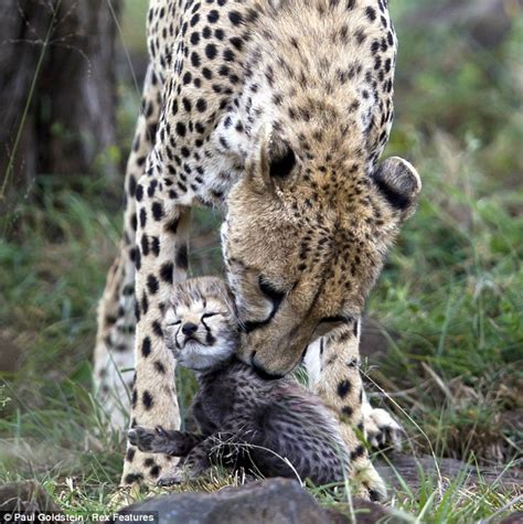 moving images showing mother animals carrying  young