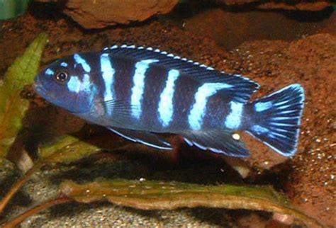 poisson africain aquarium eau douce aquarium eau douce malawi