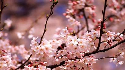 Cherry Blossoms Blossom Wallpapers Chinese Anti Fireworks