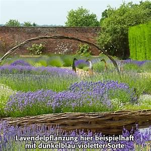 Englischer Garten Pflanzen : englischer lavendel arctic snow von g rtner p tschke ~ Articles-book.com Haus und Dekorationen