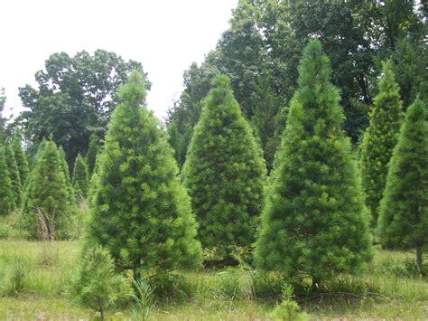 thomasville pine christmas tree tree pinetop farm trees and blueberries