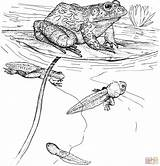 Coloring Pages Frog Tadpole Tadpoles Printable Bullfrog Clipart Animals Frogs Cliparts Ipad Drawing Pond Wildlife Amphibian Drawings 2228 77kb Cute sketch template