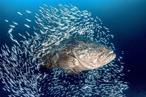 grouper goliath florida endangered critically protect areas protected marine killing mission