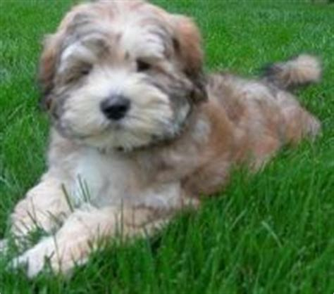 1000 ideas about non shedding dogs on pinterest golden