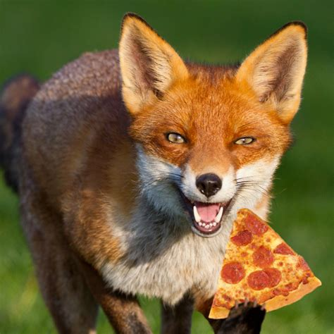 what do foxes eat we all eat pizza foxes eat pizza they cache excess pizza burying