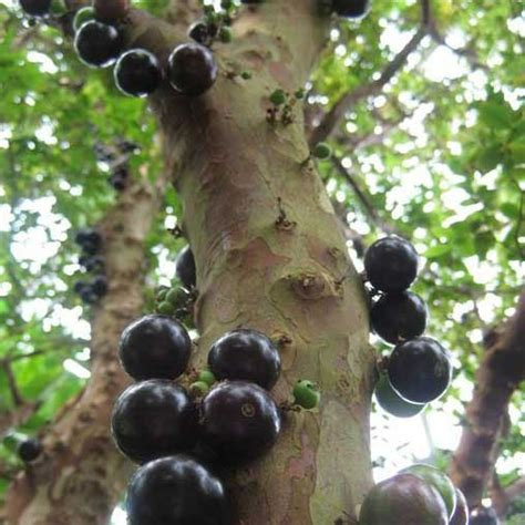 grape tree care myrciaria cauliflora jabutacaba jabuticaba