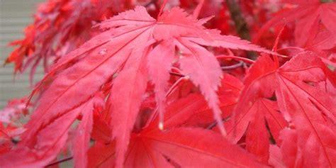 acero giapponese in vaso l acero giapponese a foglia rossa cose di casa