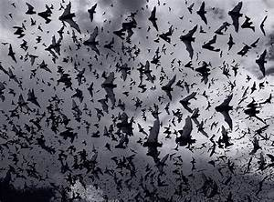 STRANGE BATS - FLYING AT DUSK - MILLIONS
