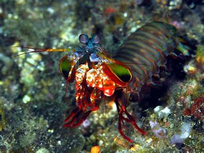 Shrimp Mantis Cool Wallpapers Sea Animals Know