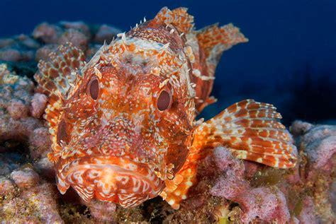 scorpionfish ocean coral pacific animal marine frogfish distribution oceana fishes habitat predator reefs ecosystem indian scarlett