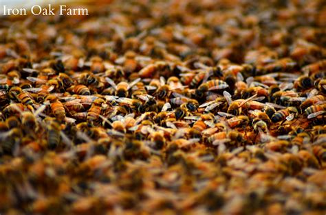 Splitting The Hive Keeping Backyard Bees