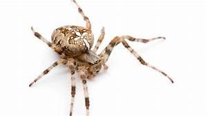Spinnmilben Gefährlich Für Menschen : sind kreuzspinnen giftig und gef hrlich f r den menschen ~ Whattoseeinmadrid.com Haus und Dekorationen