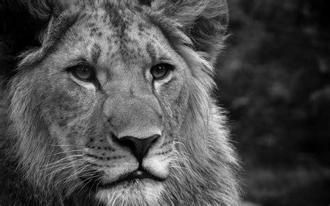 black  white lion desktop wallpapers