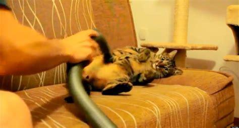 Cat Likes Being Vacuumed Video Huffpost Uk
