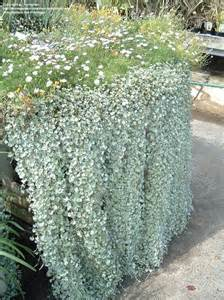 Seed Planters by Plantfiles Pictures Dichondra Kidneyweed Silver Falls
