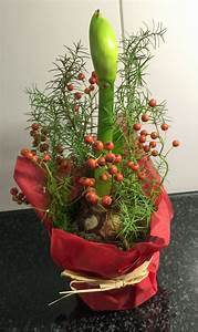 Amaryllis Zwiebeln Kaufen : amaryllis die glanzvollen rittersterne auf weihnachten gestimmt ~ Frokenaadalensverden.com Haus und Dekorationen